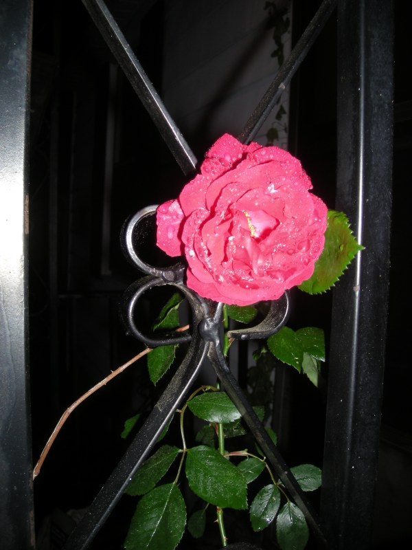 Our first rose from the rose vines around our front porch. In it's full glory, saturday night.